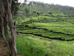 plantation-sherwood-haputale-sri-lanka
